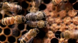 Honeybees & Pesticides