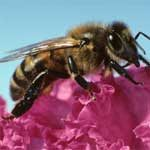 Bee Colonies Increase