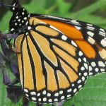 Action to Help Monarch Butterflies