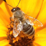honeybee_in_DC_150px