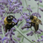 Bee Listing Could Harm Bees, Butterflies, other Pollinators