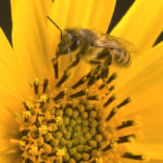 "Activist ""Science"" Behind Honeybee-Pesticide Debate"