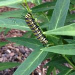 Save the Monarchs:  Keep Them off the ESA!